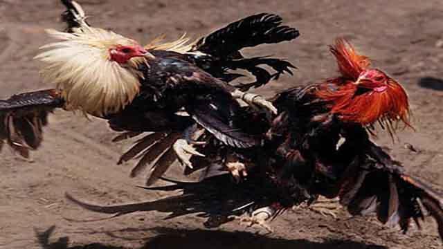 S128 Tarung Ayam Aduan Online